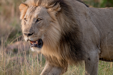 Big male Lion walking towards the camera in the Welgevonden game reserve, South Africa. Stock Photo