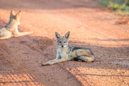 Young Black-backed jackal laying on the road in the Welgevonden game reserve,