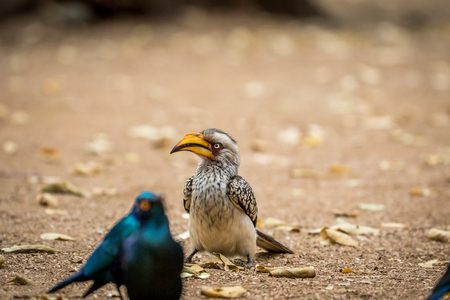 Yellow-billed hornbill and Cape glossy starlings sitting on the ground in the Kruger National Park, South Africa 版權商用圖片