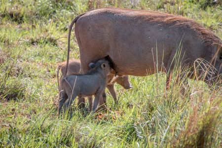 Family of Warthogs with babies in the Welgevonden game reserve, South Africa.