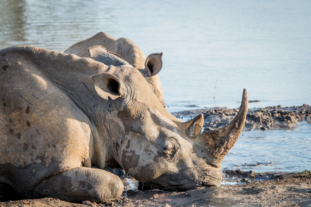 Side profile of a White rhino in the water, South Africa.