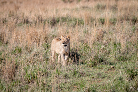 Lion walking towards the camera in the Welgevonden game reserve, South Africa. Stockfoto
