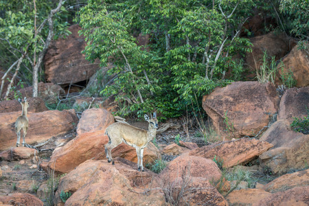 Klipspringer standing on a rock in the Welgevonden game reserve, South Africa.