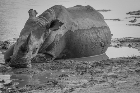 Big White rhino laying in the water in black and white, South Africa. Reklamní fotografie