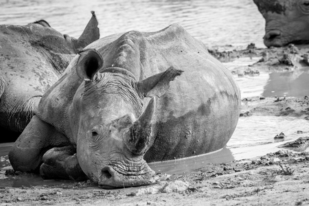 White rhino laying in the mud in black and white, South Africa. Stock Photo