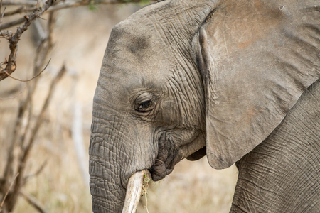 Side profile of an African elephant in the Kruger National Park, South Africa.