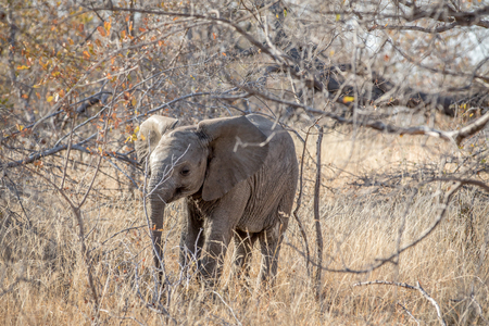 Baby Elephant calf standing in the bushes in the Kruger National Park, South Africa.