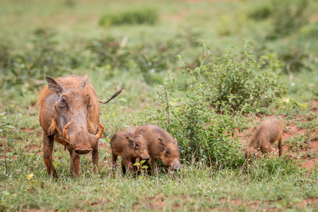 Family of Warthogs with baby piglets standing in the grass in the Welgevonden game reserve, South Africa. Stock Photo