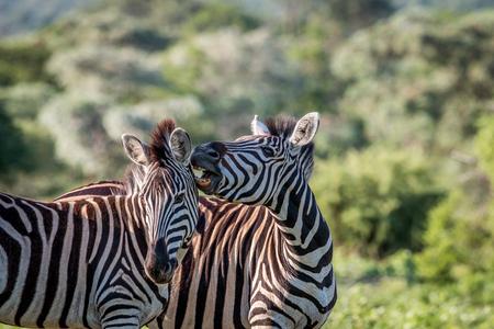 Two Zebras bonding in the Welgevonden game reserve, South Africa.