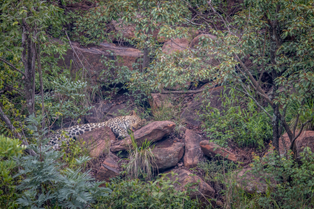 Leopard laying on a rock in the Welgevonden game reserve, South Africa.