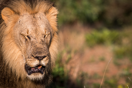 Big male Lion closing his eyes for the picture in the Welgevonden game reserve, South Africa.