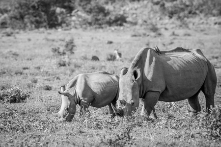 Mother White rhino and young calf grazing in black and white in the Welgevonden game reserve, South Africa.