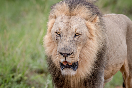 Close up of the head of a big male Lion in the Welgevonden game reserve, South Africa.