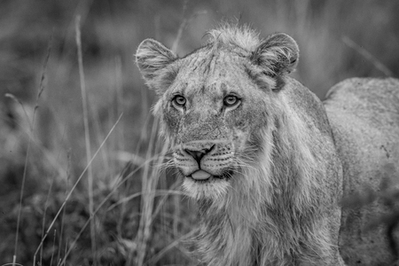 Close up of a young male Lion in the high grass in black and white in the Welgevonden game reserve, South Africa.
