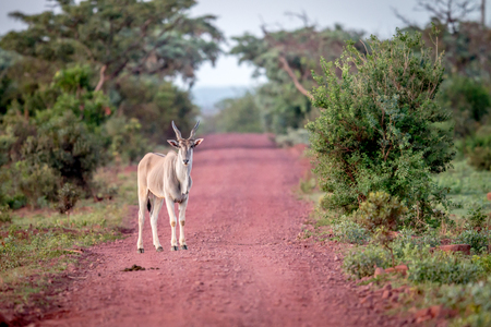 Eland standing on the road in the Welgevonden game reserve, South Africa.
