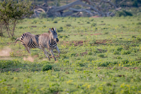 Two Zebras chasing each other in the Welgevonden game reserve, South Africa. Imagens