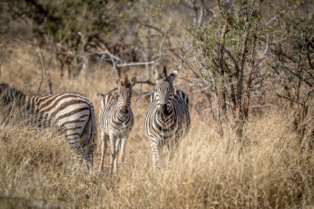Zebras standing in the grass and starring in the Kruger National Park, South Africa. 免版税图像