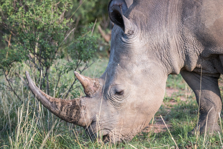 Close up of a White rhino in the grass, South Africa.