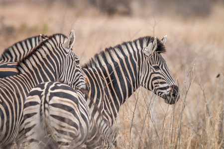 Zebras standing in the long grass in the Welgevonden game reserve, South Africa.