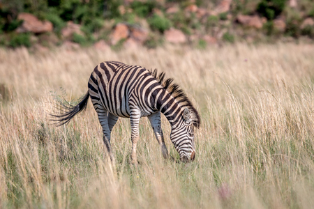 Zebra standing in the high grass in the Welgevonden game reserve, South Africa.