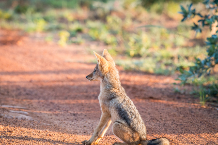 Young Black-backed jackal sitting on the road in the Welgevonden game reserve, South Africa. Stock Photo