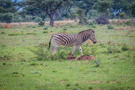 Zebra with baby Blue wildebeest calves on a grass plain in the Welgevonden game reserve, South Africa.