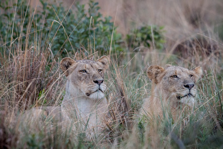 Two Lions laying in the high grass and starring in the Welgevonden game reserve, South Africa. Stock Photo