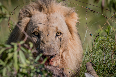 Big male Lion feeding on a Waterbuck kill in the Welgevonden game reserve, South Africa. Stock Photo