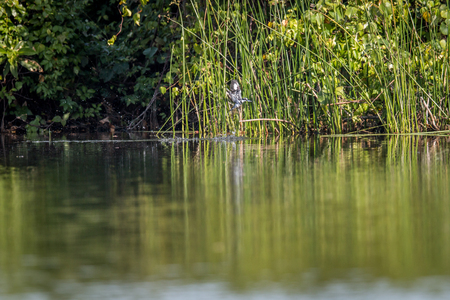 Pied kingfisher fishing in a lagoon, Tanzania