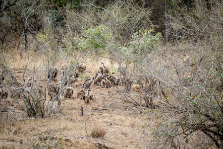 A lot of White-backed vulture sitting in the grass in the Kruger National Park, South Africa.