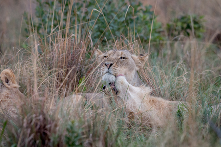Two Lions bonding in the high grass in the Welgevonden game reserve, South Africa.
