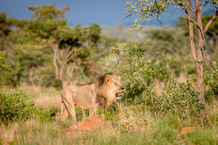 Big male Lion walking in the bush in the Welgevonden game reserve, South Africa.