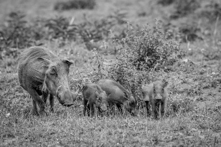 Family of Warthogs with baby piglets standing in the grass in black and white in the Welgevonden game reserve, South Africa. Stock Photo