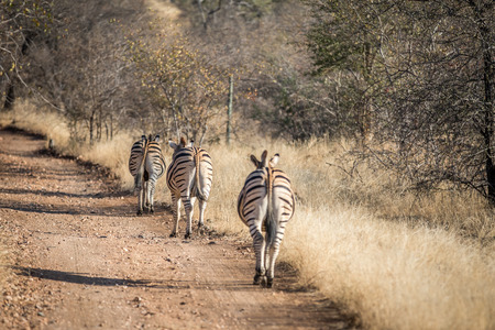 Zebra walking on the road in a single file in the Kruger National Park, South Africa.