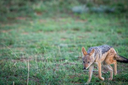 Black-backed jackal standing in the grass in the Welgevonden game reserve, South Africa.