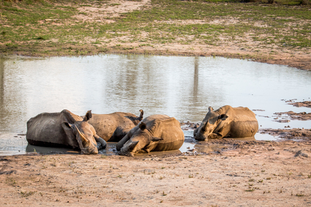 Group of White rhinos laying in the water, South Africa.