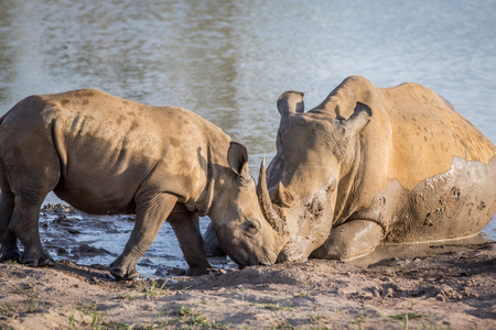 Mother White rhino and baby calf by the water, South Africa.