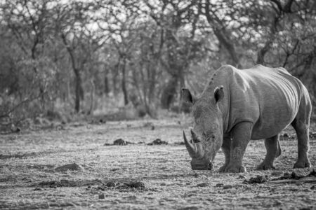 White rhino standing in black and white in the grass, South Africa.