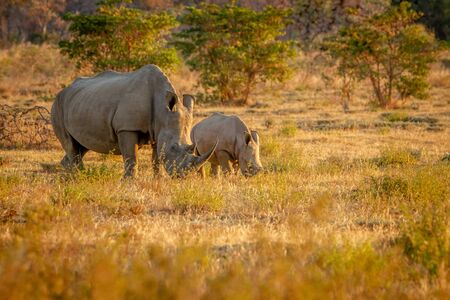 White rhino mother and baby calf grazing, South Africa.