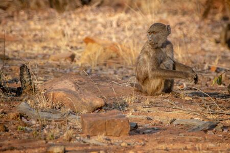Young Chacma baboon sitting and looking around in the Welgevonden game reserve, South Africa.