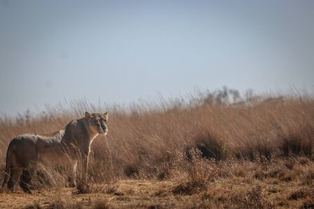 Lioness on the look out for prey in the Welgevonden game reserve, South Africa.