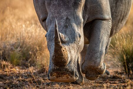 Close up of a White rhino head, South Africa.