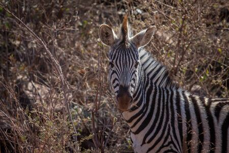 Zebra starring at the camera in the Welgevonden game reserve, South Africa.