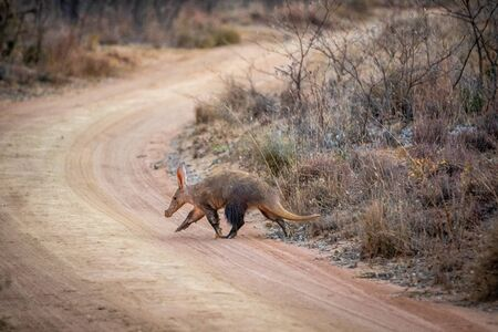 Aardvark crossing a bush road in the Welgevonden game reserve, South Africa.