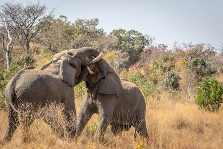 Two big male Elephants playing in the Welgevonden game reserve, South Africa