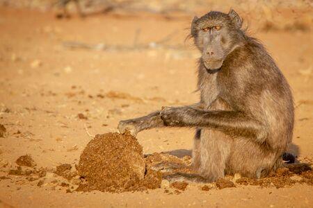 Babbuino Chacma seduto e mangiare nella riserva di caccia di Welgevonden, Sud Africa. Archivio Fotografico