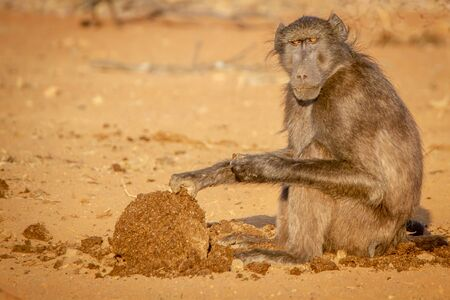 Chacma baboon sitting and eating in the Welgevonden game reserve, South Africa.