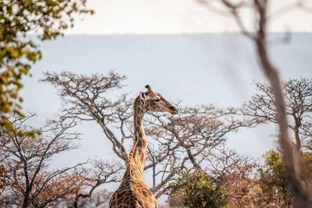 Giraffe standing in the African bush in the Welgevonden game reserve, South Africa. Reklamní fotografie