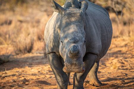 Dehorned White rhino starring at the camera, South Africa.
