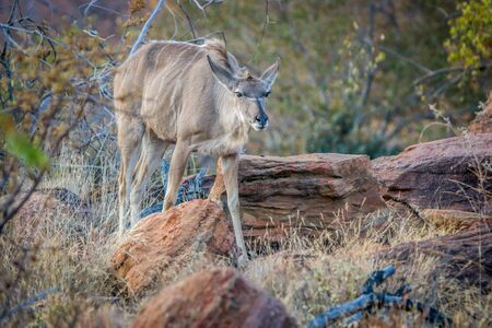 Female Kudu standing in the bush in the Welgevonden game reserve, South Africa.